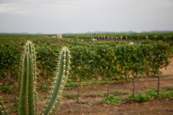 Plantação de uvas irrigadas pelo Velho Chico